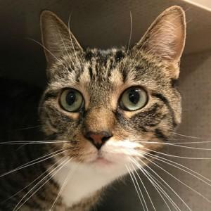 Beautiful tabby cat up for adoption named Kiki 2017